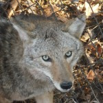 coyote trapping and snaring