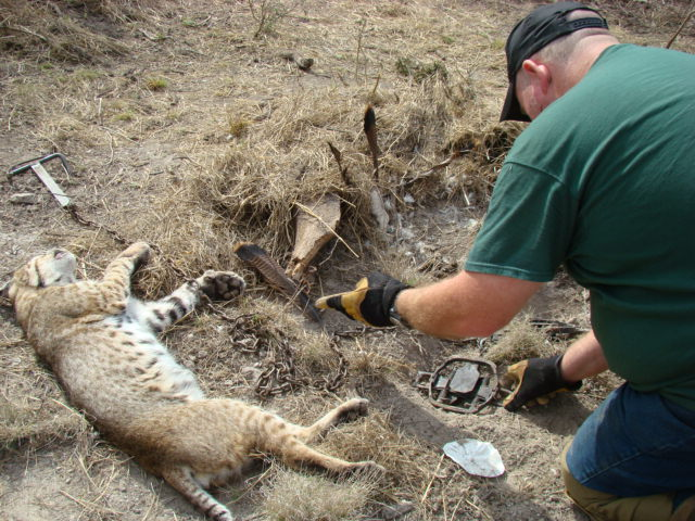 Best Bobcat and Coyote Trap Sets