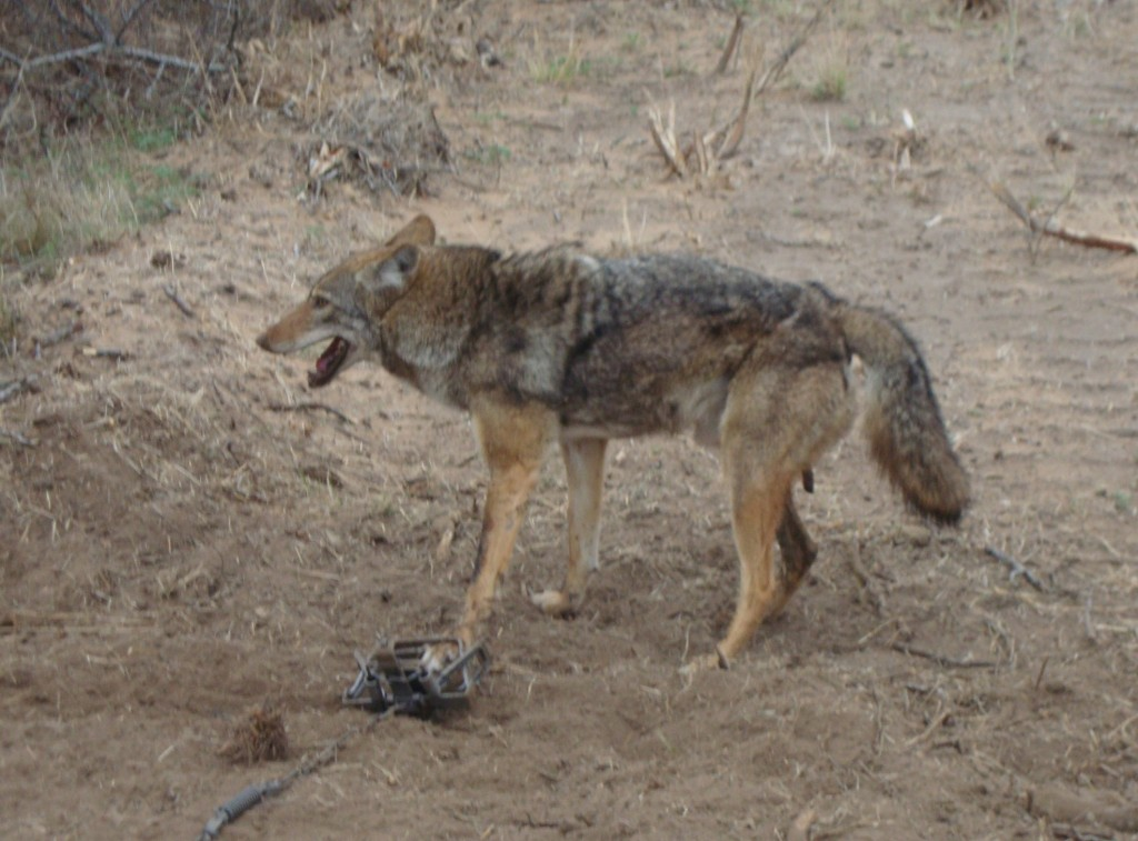 a research on human trapping and foothold traps A pilot evaluation of trap monitors by the usda wildlife services operational program  used to reduce disturbance and human presence at trap  foothold traps.