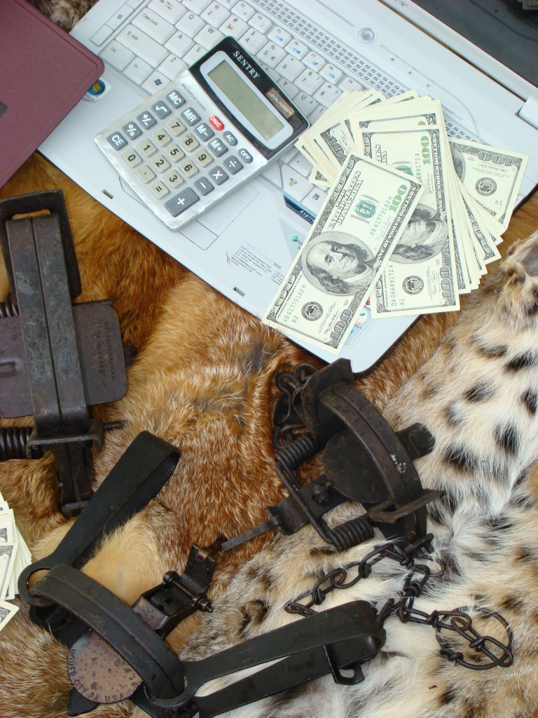 coyote trapping beaver or raccoon trapping money how to trap fur