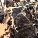 catching otter while muskrat trapping