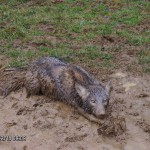 trapping coyote in mud
