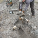 Setting two traps while coyote trapping