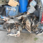 bobcat trapping turkey flags
