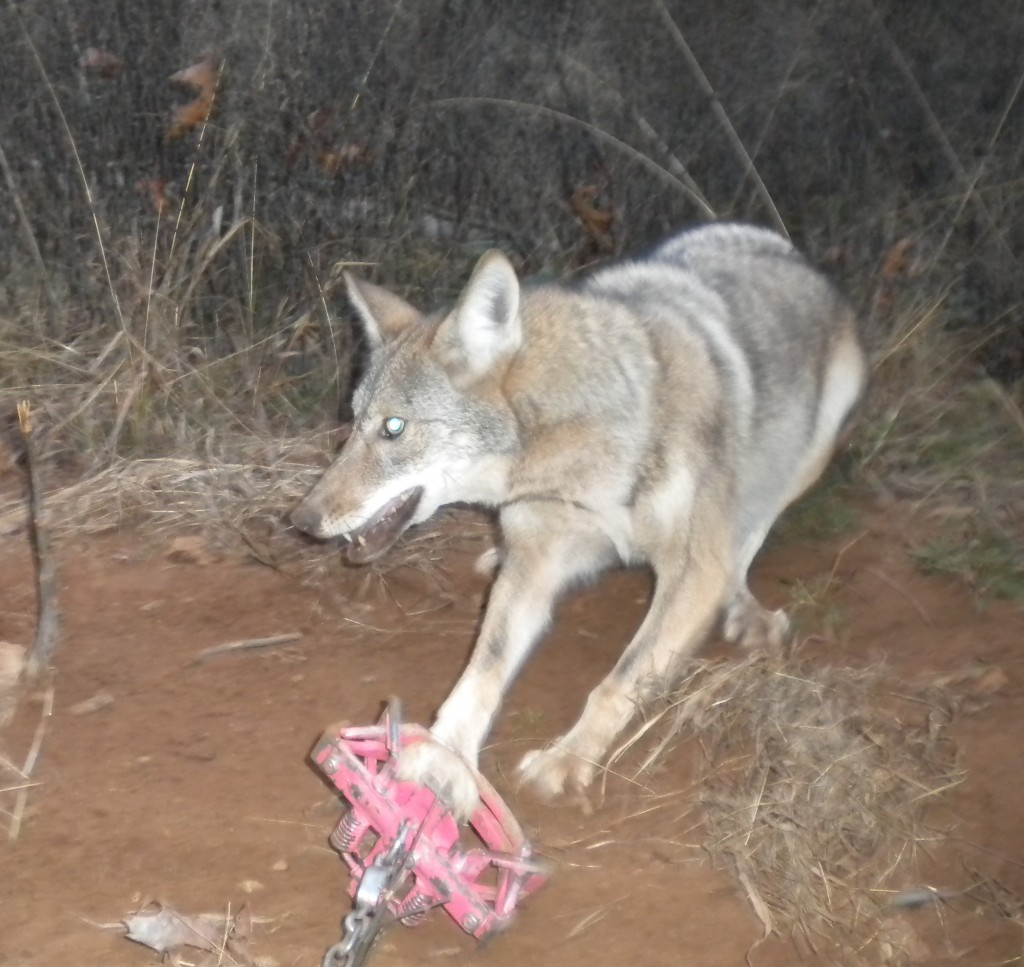 One of trapperchicks coyotes caught in MB 550
