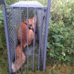 trapping red for in cage trap