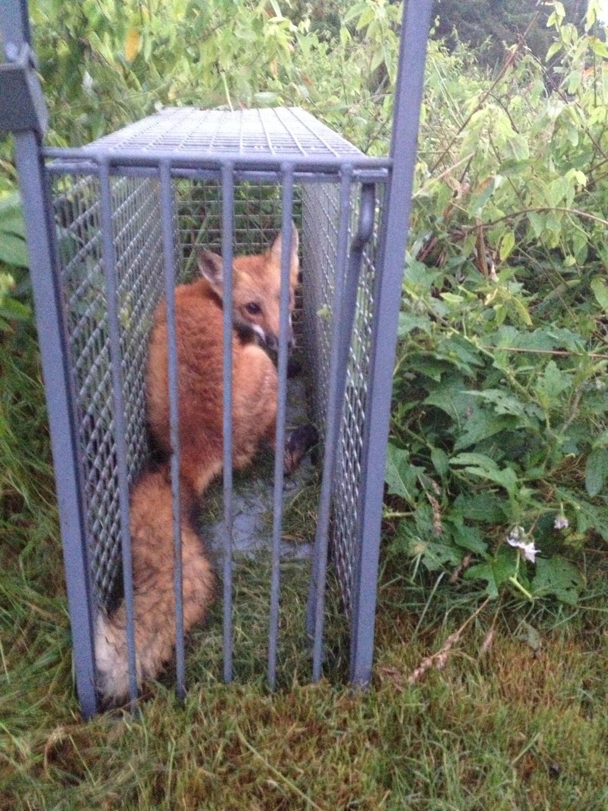 Red fox cage trap box how to catch lure