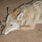 coyote bait Gator Bait